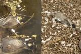 În Delta Dunării plouă cu păsări moarte