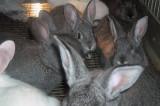 Exclusiv: Porcușori de Guineea, peste 50 de iepuri și o familie într-un apartament de 43 de metri pătrați