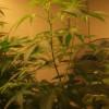 DIICOT: Prins cu 5 kilograme de droguri . Cultură de cannabis. Pipe, narghilea, grindere…Tot arsenalul.