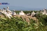 Gripa aviară pune în pericol cea de-a doua (ca mărime) colonie de pelican creț  din Europa