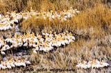 Societatea Ornitologică Română: Cea mai mare colonie de pelicani din Europa la Roșca-Buhaiova, în Delta Dunării