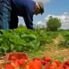 Locuri de muncă sezonieră  în Spania (agricultură)