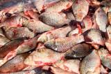 IGPR: Tone de pește și icre confiscate (1.347 de kg. de pește proaspăt, 1.700 de kg. de icre, 51 de plase de pescuit tip setci monofilament și din fir textil, 2 ambarcațiuni, 5 motoare)