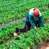 AJOFM Tulcea: 100 locuri de muncă în domeniul agricol (recoltare de mazăre) în Danemarca prin intermediul Rețelei EURES