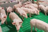 La Carniprod s-au tras obloanele. Vor fi 45 de mii de porci incinerați? Cine urmează?!
