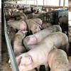 """Disperarea la cote maxime: """"porcii se manâncă între ei. Nu s-a găsit pestă dar sunt blocat de peste 30 de zile""""(Dumitru Bărbieru, fermier)"""