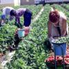 150 locuri de muncă în domeniul agricol în Spania prin intermediul Reţelei EURES