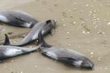 Delfinii din Marea Neagră, victime în plasele pescarilor de scrumbie. Braconaj la sturion.