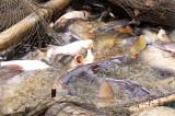 Delta Dunării, confiscări : Peste 840 kg. de pește, 55 kg. de icre de crap și 15 kg. de raci