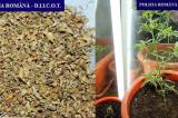 Microplantație de canabis și trafic de droguri de risc