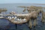 Se refac locurile de cuibărit de pe Insula Ceaplace. Primii pelicani creți au venit
