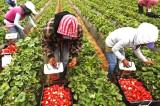 """Spaniolii au nevoie de """"căpșunari"""". 900 de locuri de muncă în domeniul agricol (recoltare fructe) în Spania"""