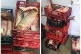 Peste 350 kg de peşte transportat fără documente legale, confiscat de poliţiştii de frontieră tulceni