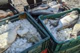 O jumătate de tonă de peşte stricat, fără documente legale, confiscat de poliţiştii de frontieră tulceni și distrus