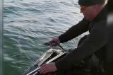 (Video) 26 de sturioni prinși în plasele pescarilor au fost eliberați în mediul natural de autoritățile de control din Delta Dunării în ultima lună