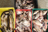 Poliția de Frontieră Isaccea a depistat un sucevean cu cca. 90 de kg de pește fără documente legale