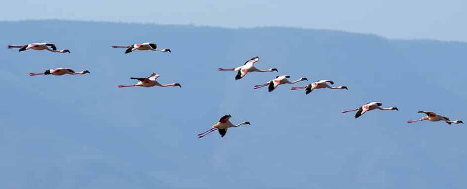 Un grup de Flamingo roz în vizită la Pelicanii din Delta Dunării deschid sezonul turistic în cea mai frumoasă lume a păsărilor