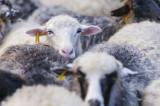 A venit de la Babadag la Măcin cu 150 de oi fără documente, pentru vânzare. Oile, în valoare de 30.500 lei, au fost confiscate