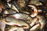 Peste 100 de kilograme de pește braconat și 2000 m de plase interzise au fost confiscate de polițiștii de frontieră
