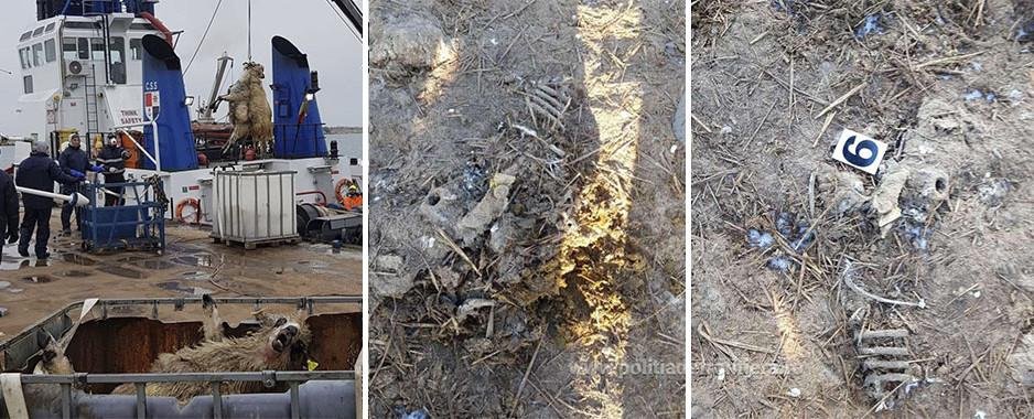 Leșurile oilor înecate în Portul Midia în 2019 (Noiembrie), NU au fost incinerate ci doar îngropate în zona Smârdan, județul Tulcea