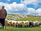Minoră luată cu forța de un cioban, găsită de polițiști la o stână de oi
