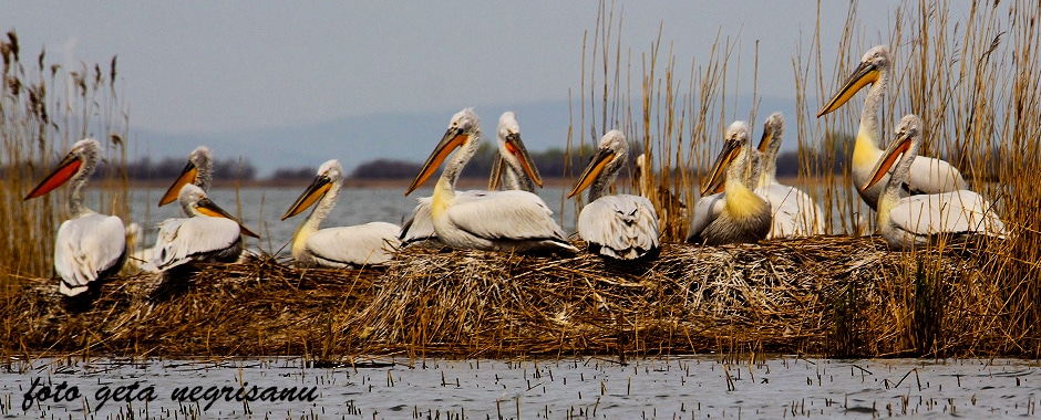 pelicani04