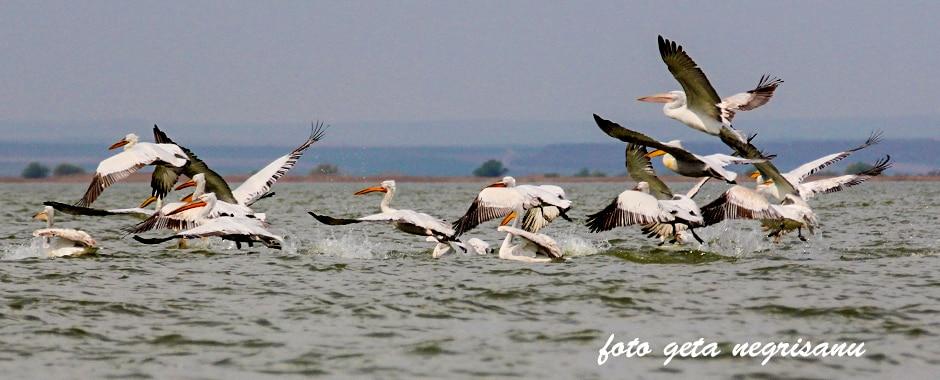 pelicani05