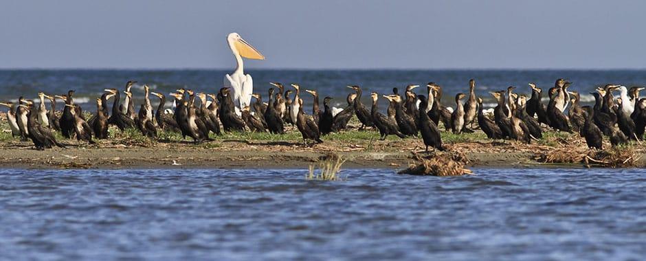 Vânătoarea cormoranului mare se va face conform legii, cu avizul specialiștilor, fără să fie afectat echilibrul ecosistemelor naturale